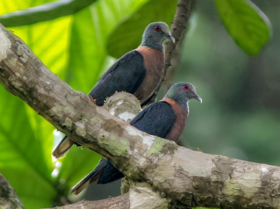 Bronze-naped Pigeon - Ottavio Janni