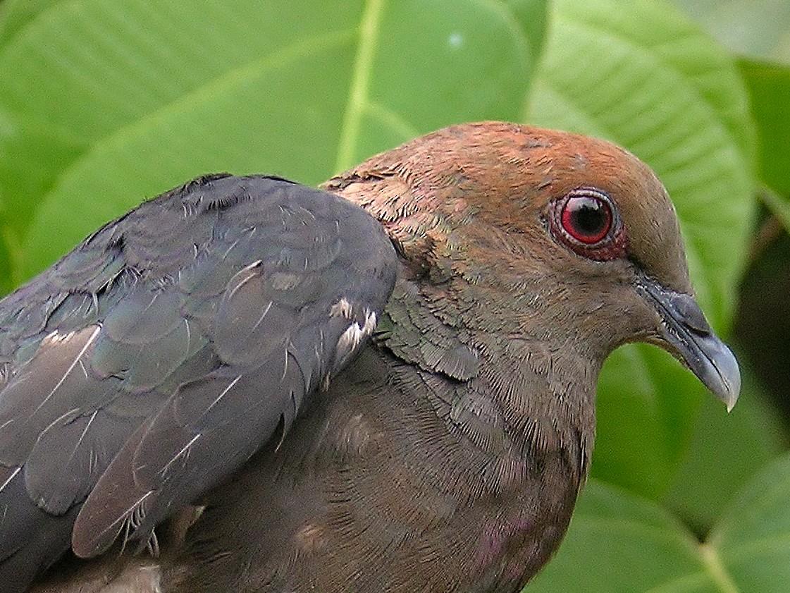 Bronze-naped Pigeon - Tony King