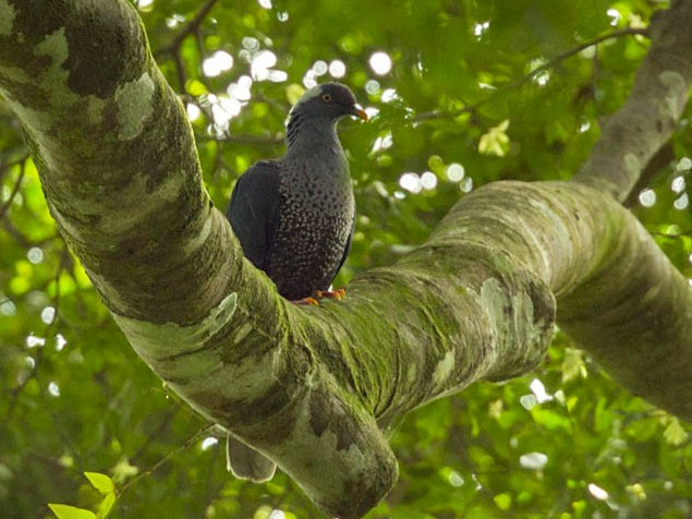 White-naped Pigeon - Fran Trabalon