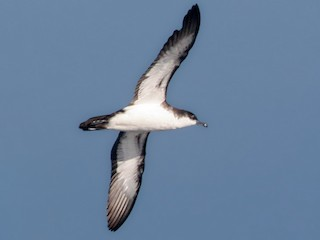 - Tropical Shearwater