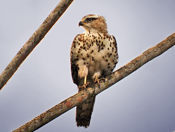 Congo Serpent-Eagle - Nik Borrow