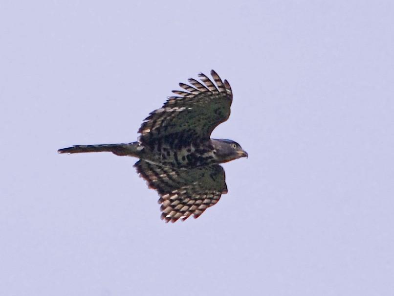 Congo Serpent-Eagle - Alan Van Norman