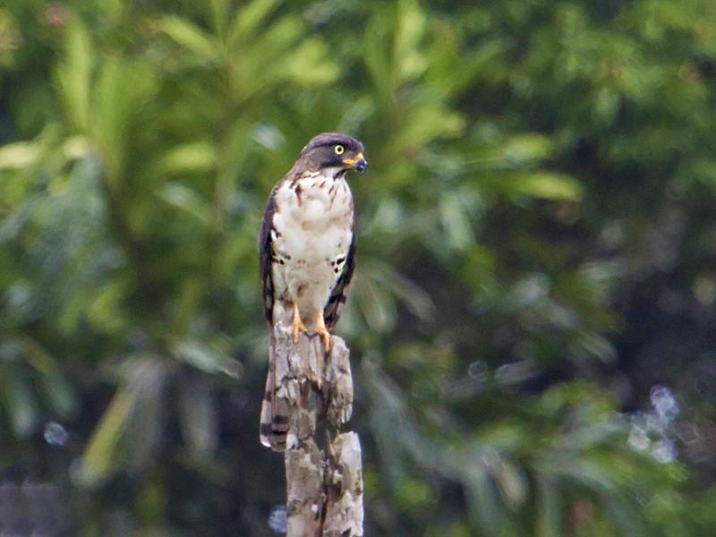 Congo Serpent-Eagle - Adam Riley