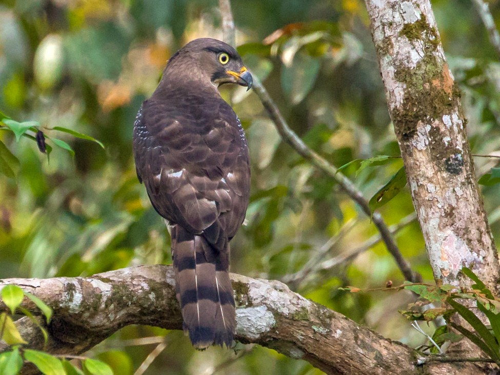 Congo Serpent-Eagle - Miguel Angel Fuentes Rosúa