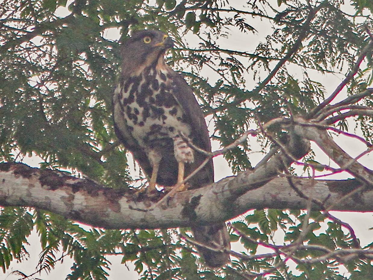 Congo Serpent-Eagle - Don Roberson