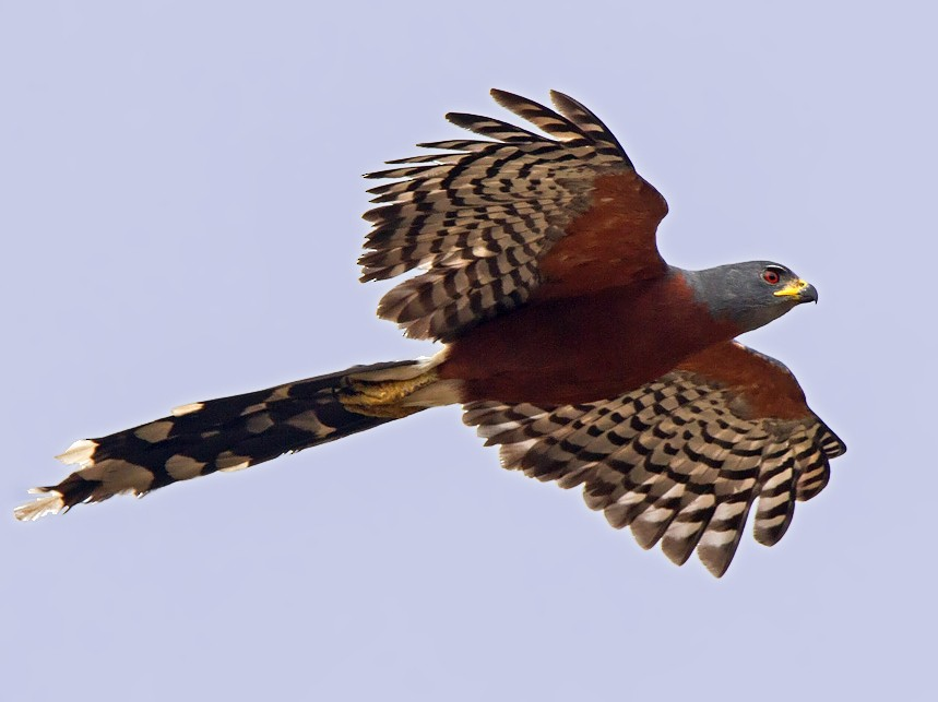 Long-tailed Hawk - Niall D Perrins