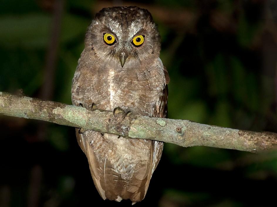 Pemba Scops-Owl - Lars Petersson