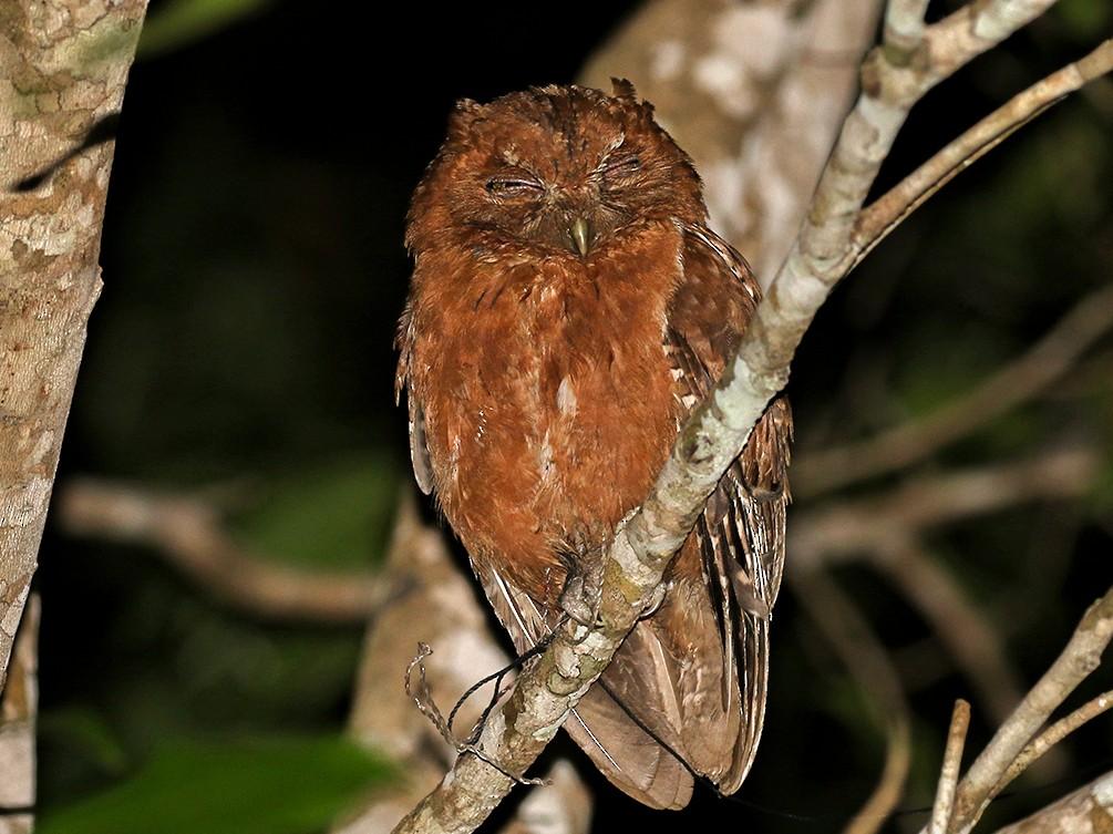 Pemba Scops-Owl - Charley Hesse