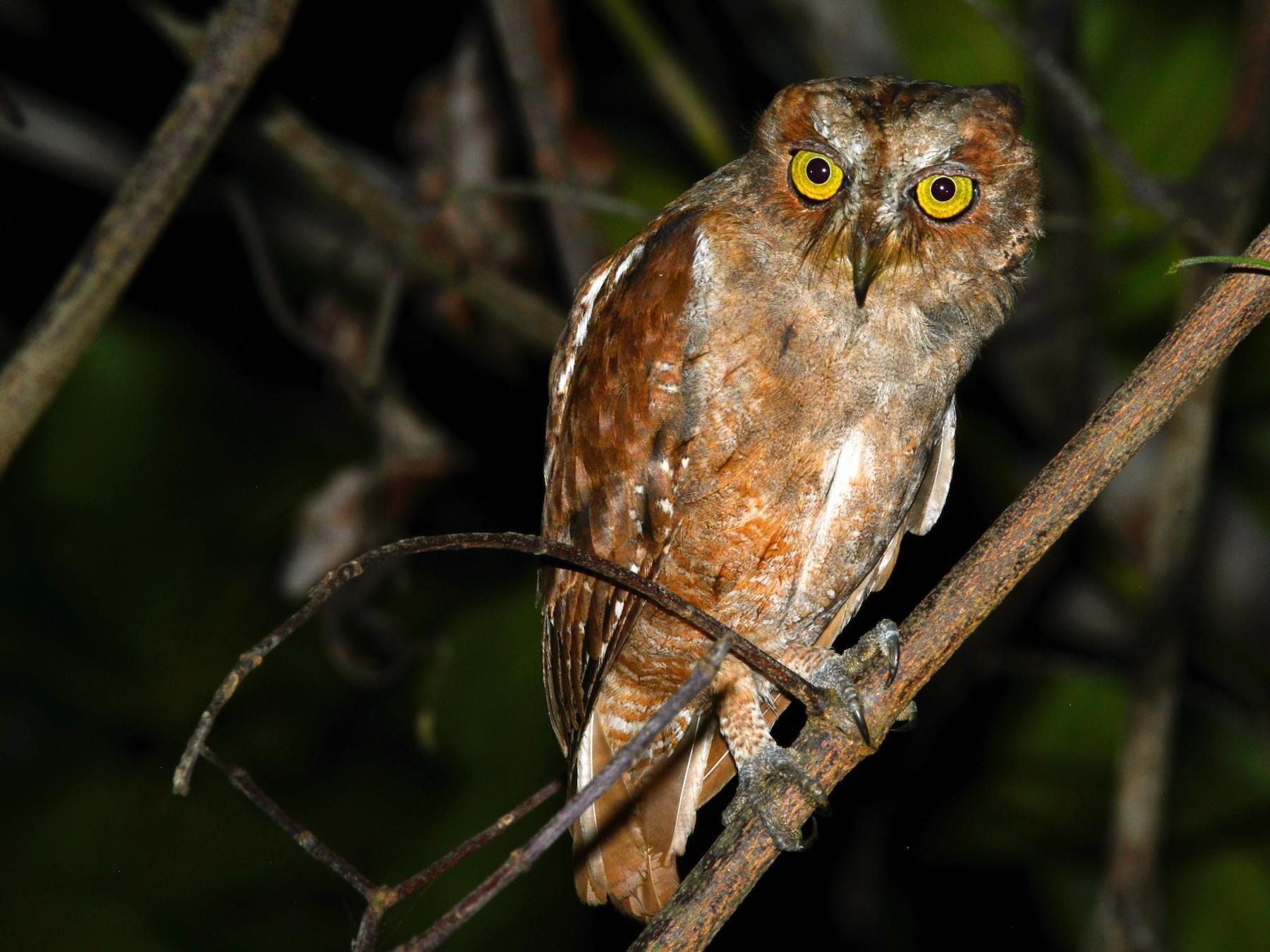 Pemba Scops-Owl - Alan Van Norman