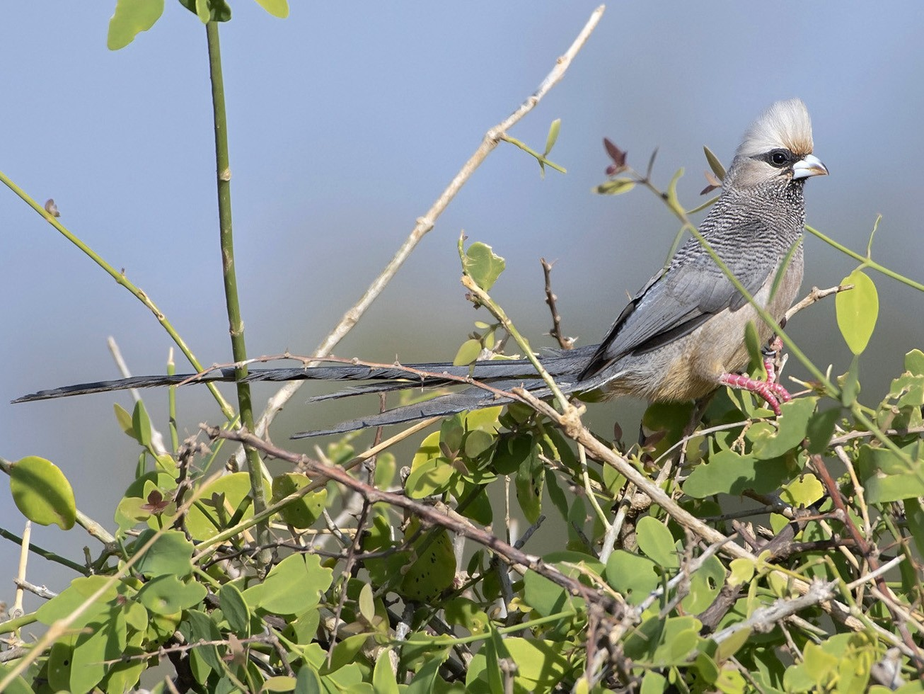White-headed Mousebird - Debra Herst