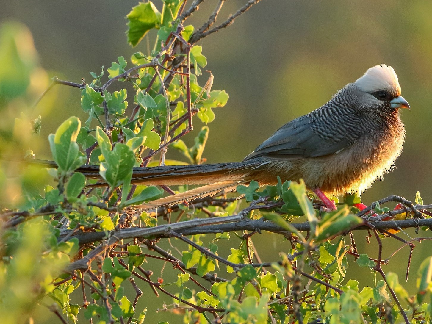 White-headed Mousebird - Markus Lilje