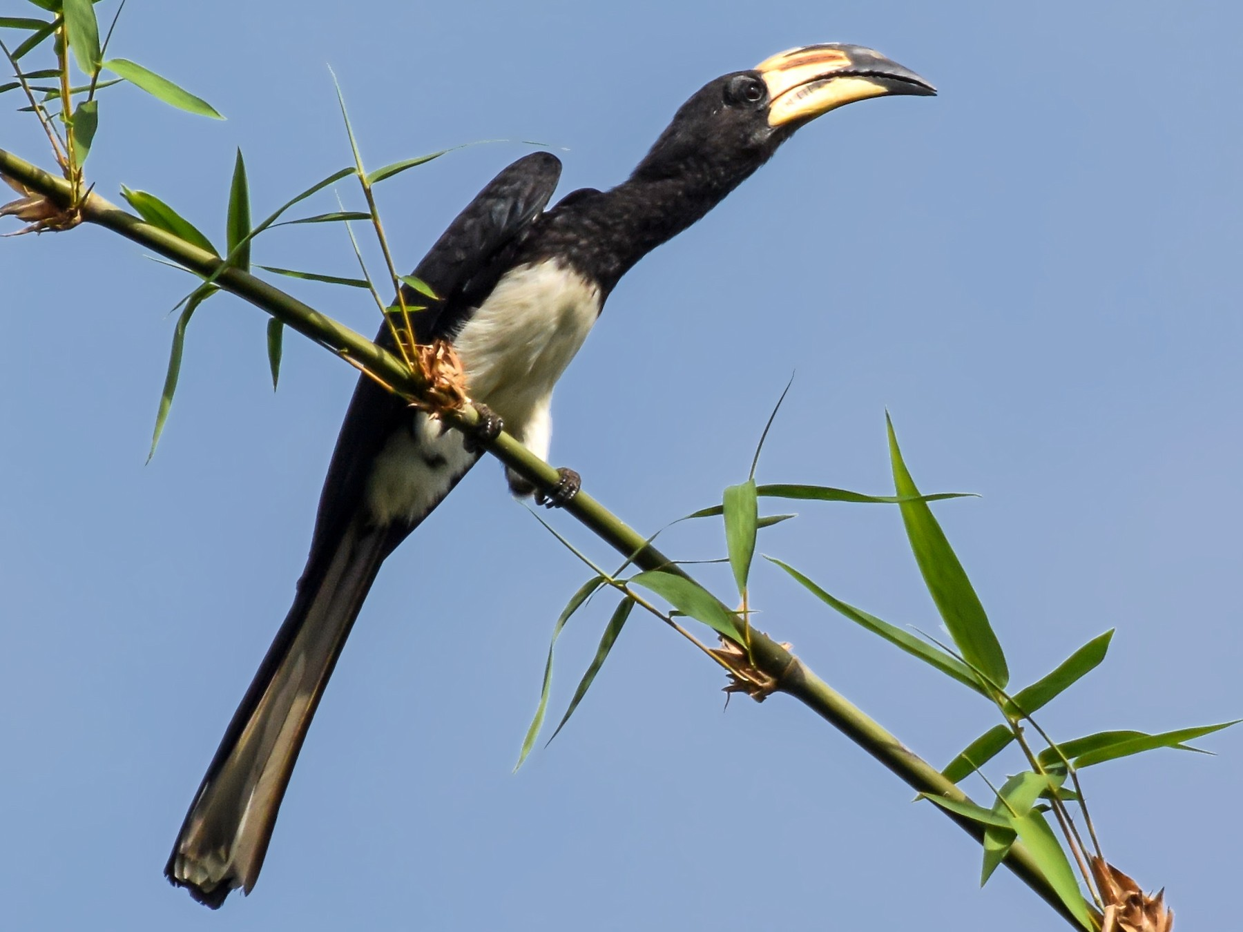 African Pied Hornbill - Giuseppe Citino