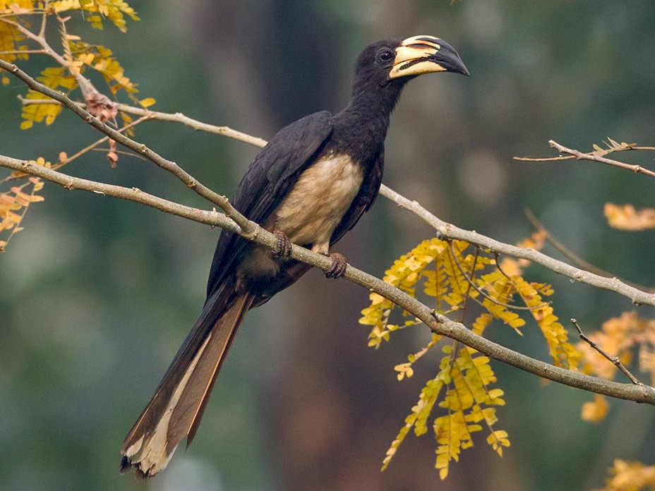 African Pied Hornbill - Lars Petersson