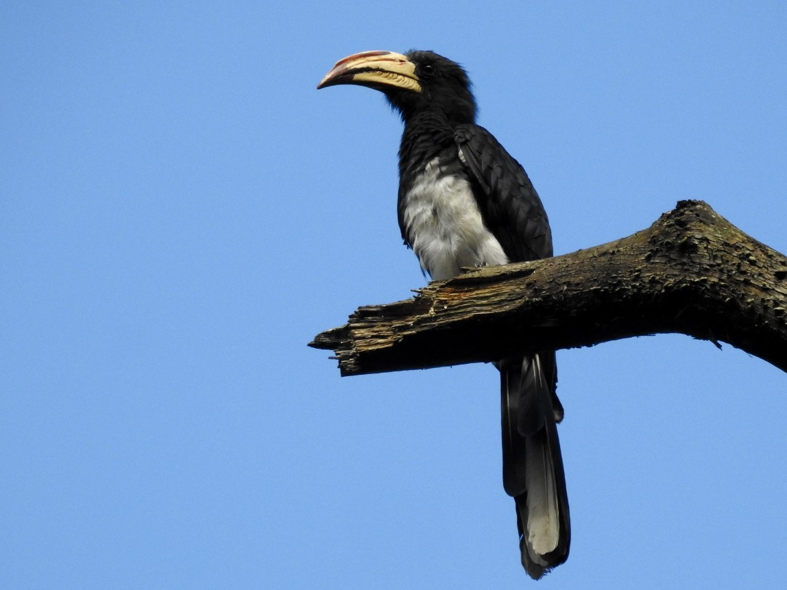 African Pied Hornbill - Mark Stacy