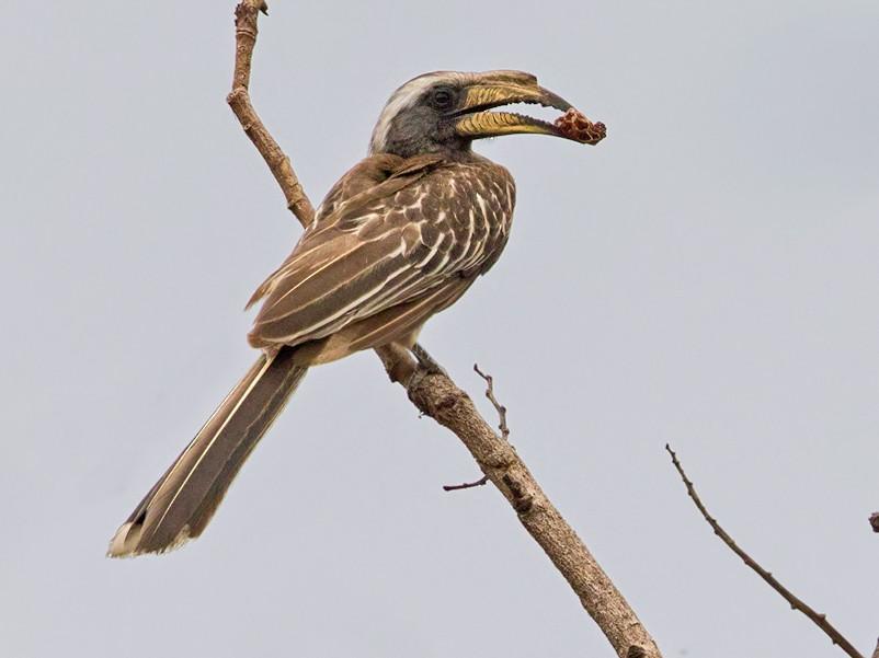 Pale-billed Hornbill - Lars Petersson