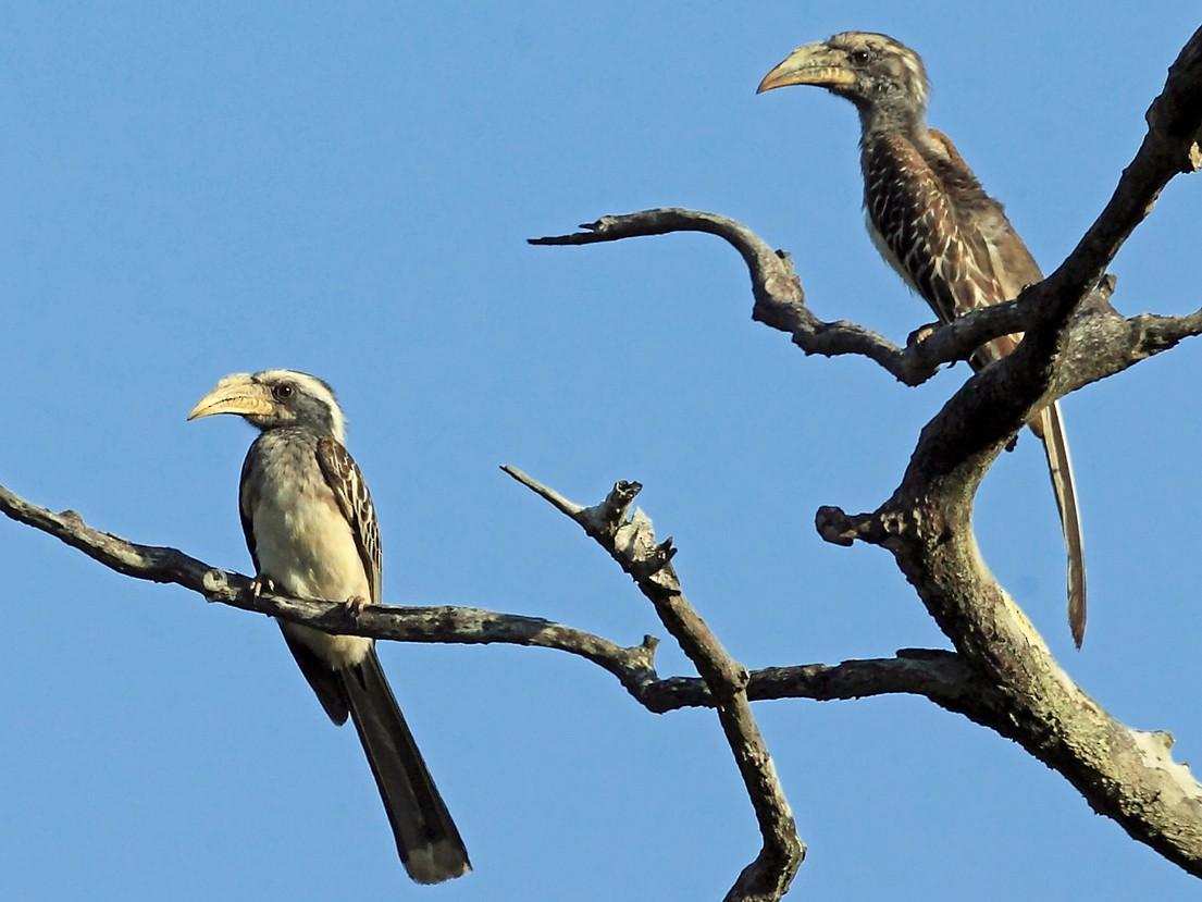 Pale-billed Hornbill - Nigel Voaden