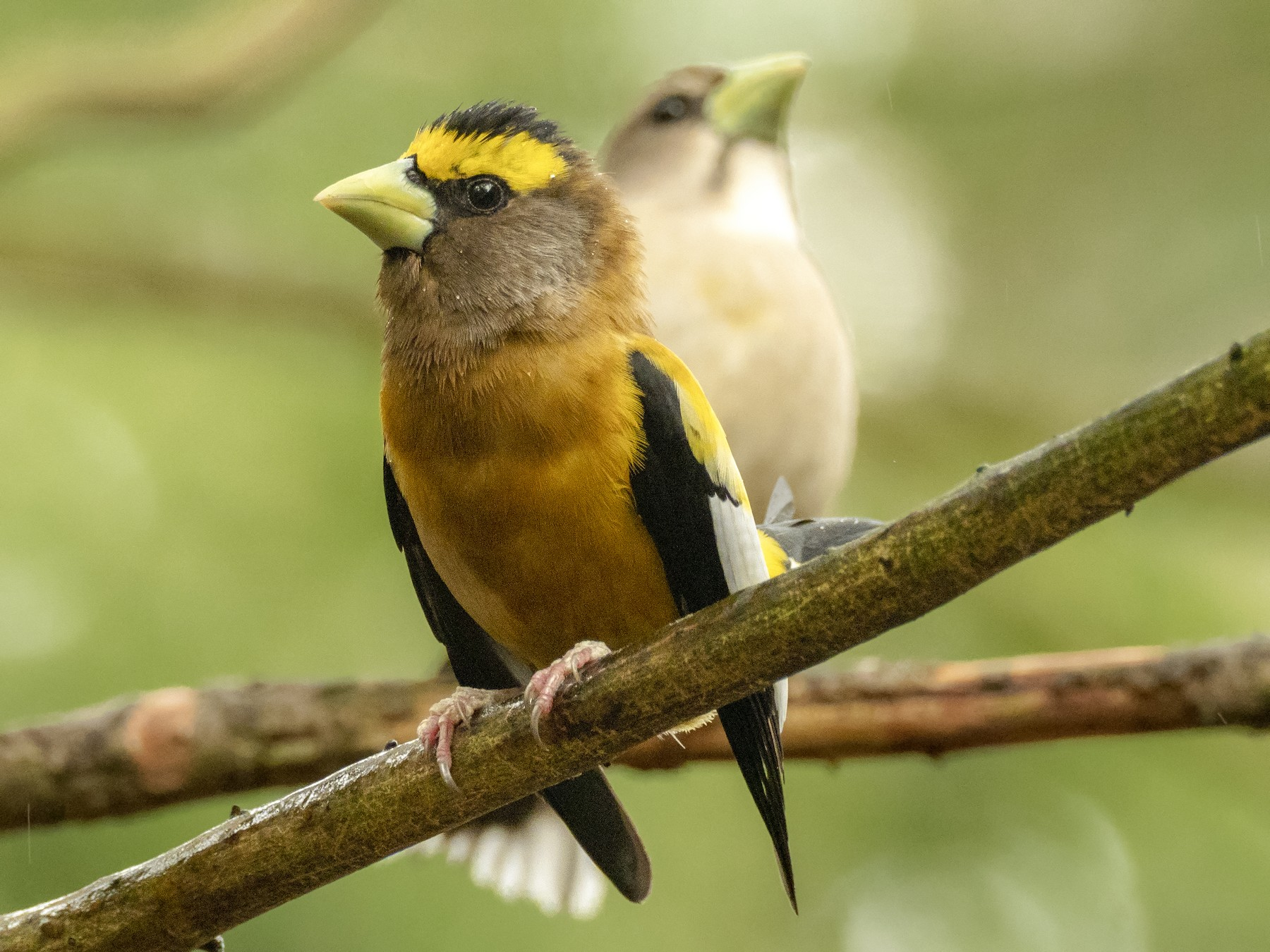 Evening Grosbeak - Andres Vasquez