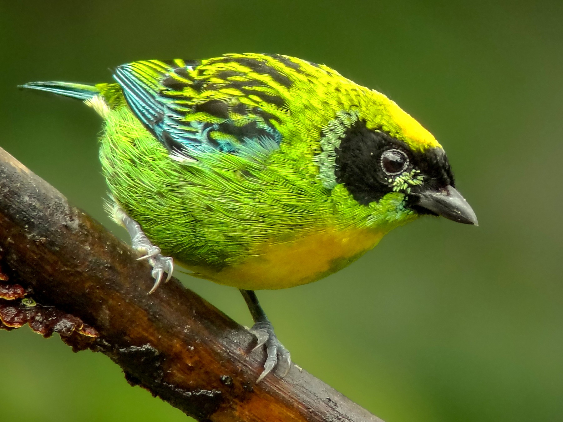 Green-and-gold Tanager - Andres Vasquez Noboa - Tropical Birding Tours