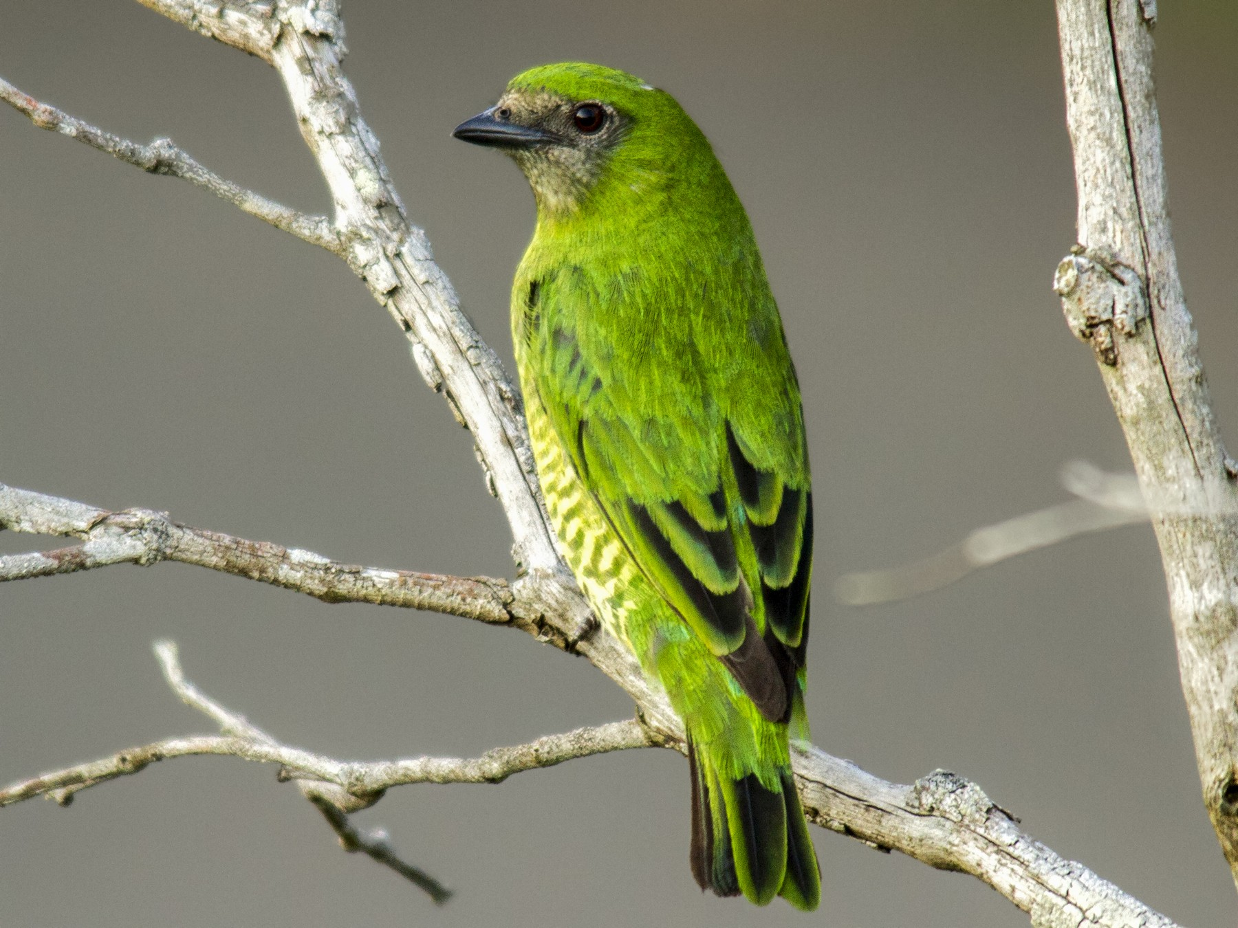 Swallow Tanager - Andres Vasquez