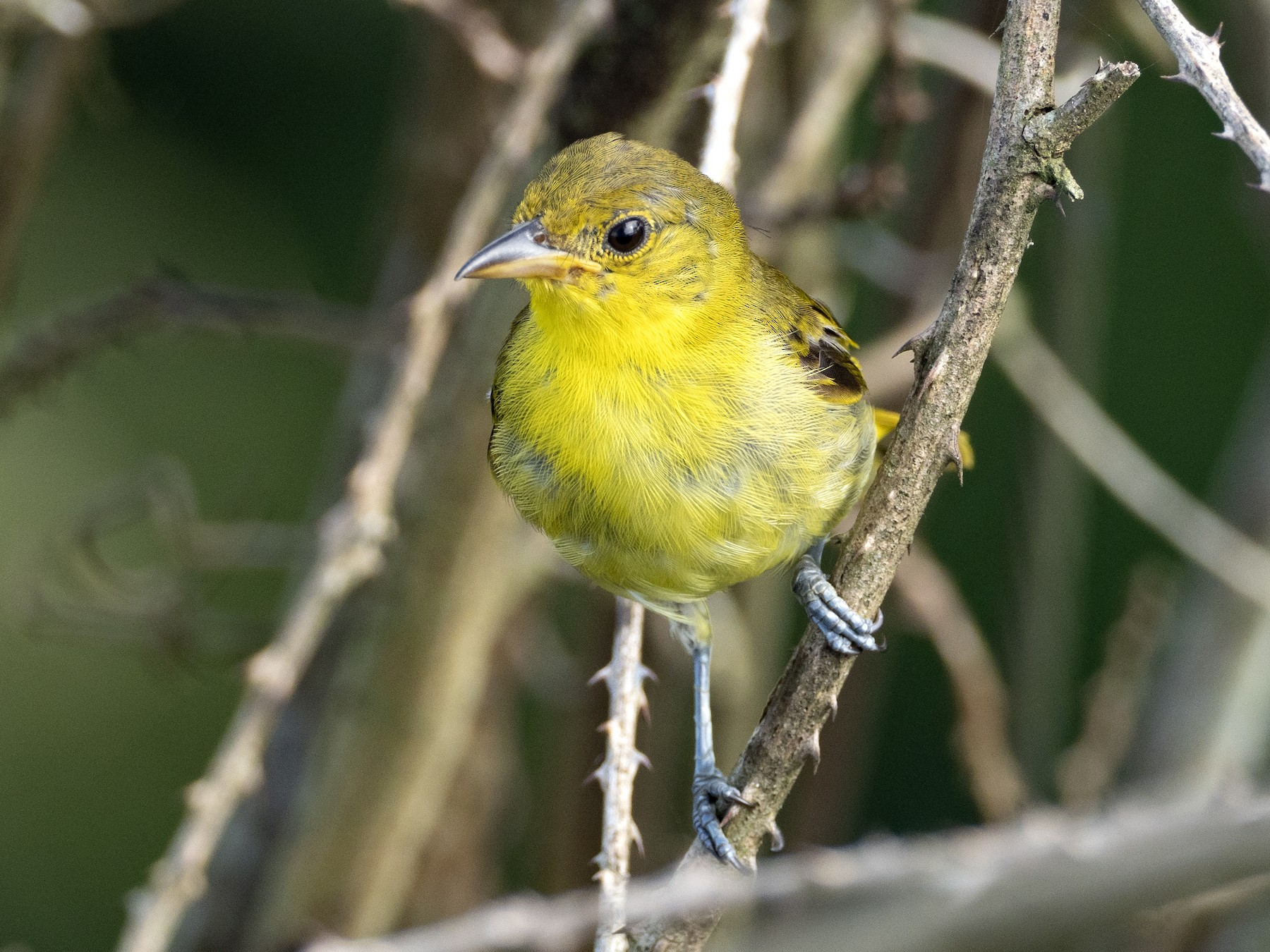 Yellow-backed Tanager - Andres Vasquez