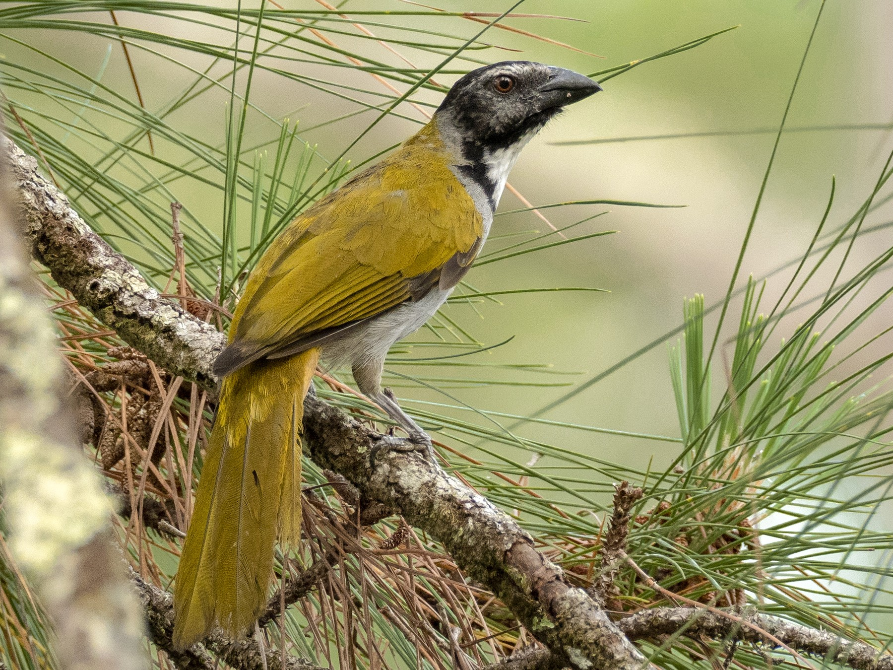 Black-headed Saltator - Andres Vasquez
