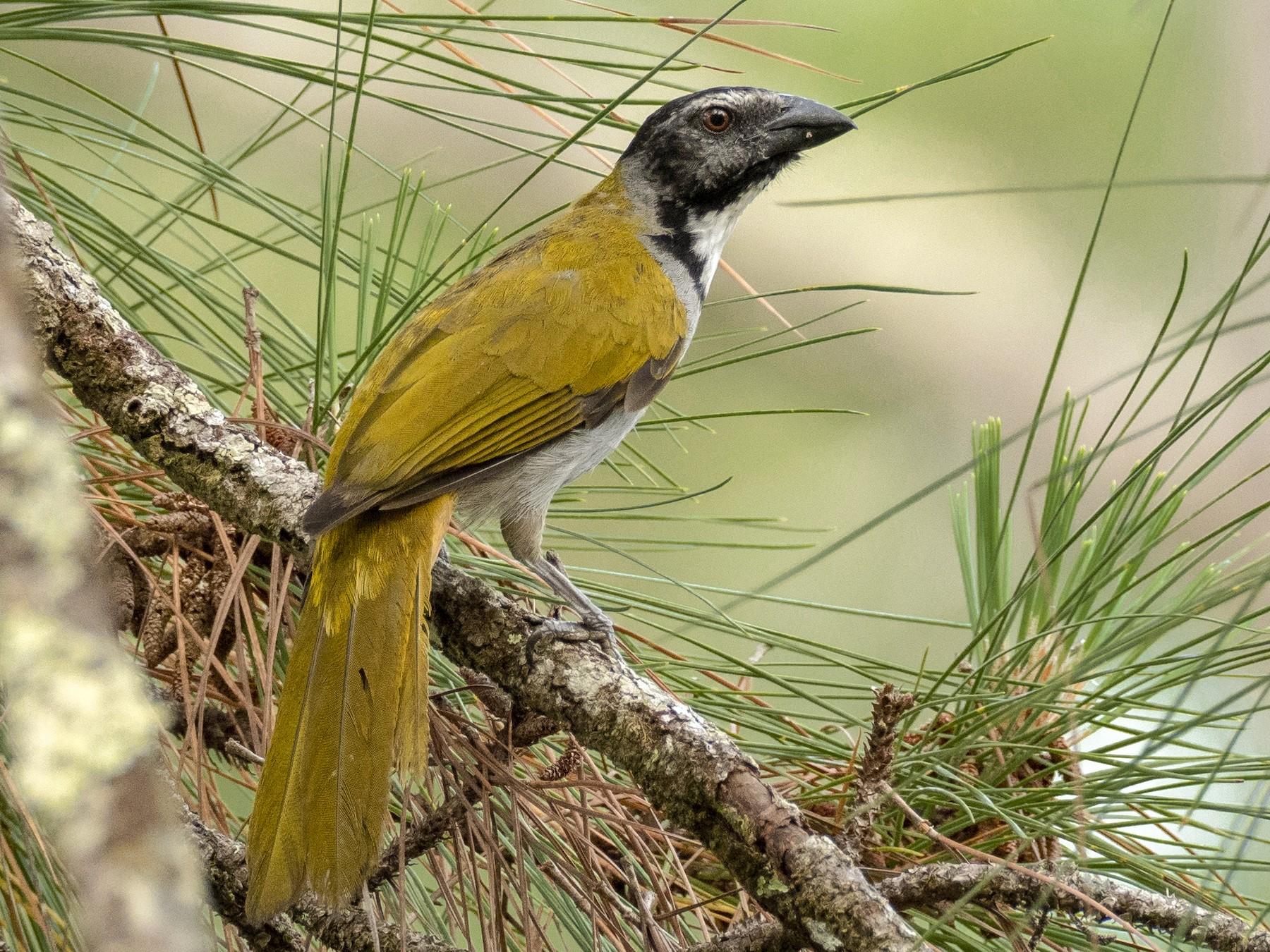 Black-headed Saltator - Andres Vasquez Noboa - Tropical Birding Tours