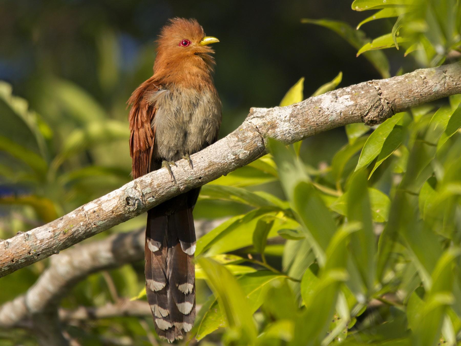 Little Cuckoo - Andres Vasquez Noboa - Tropical Birding Tours