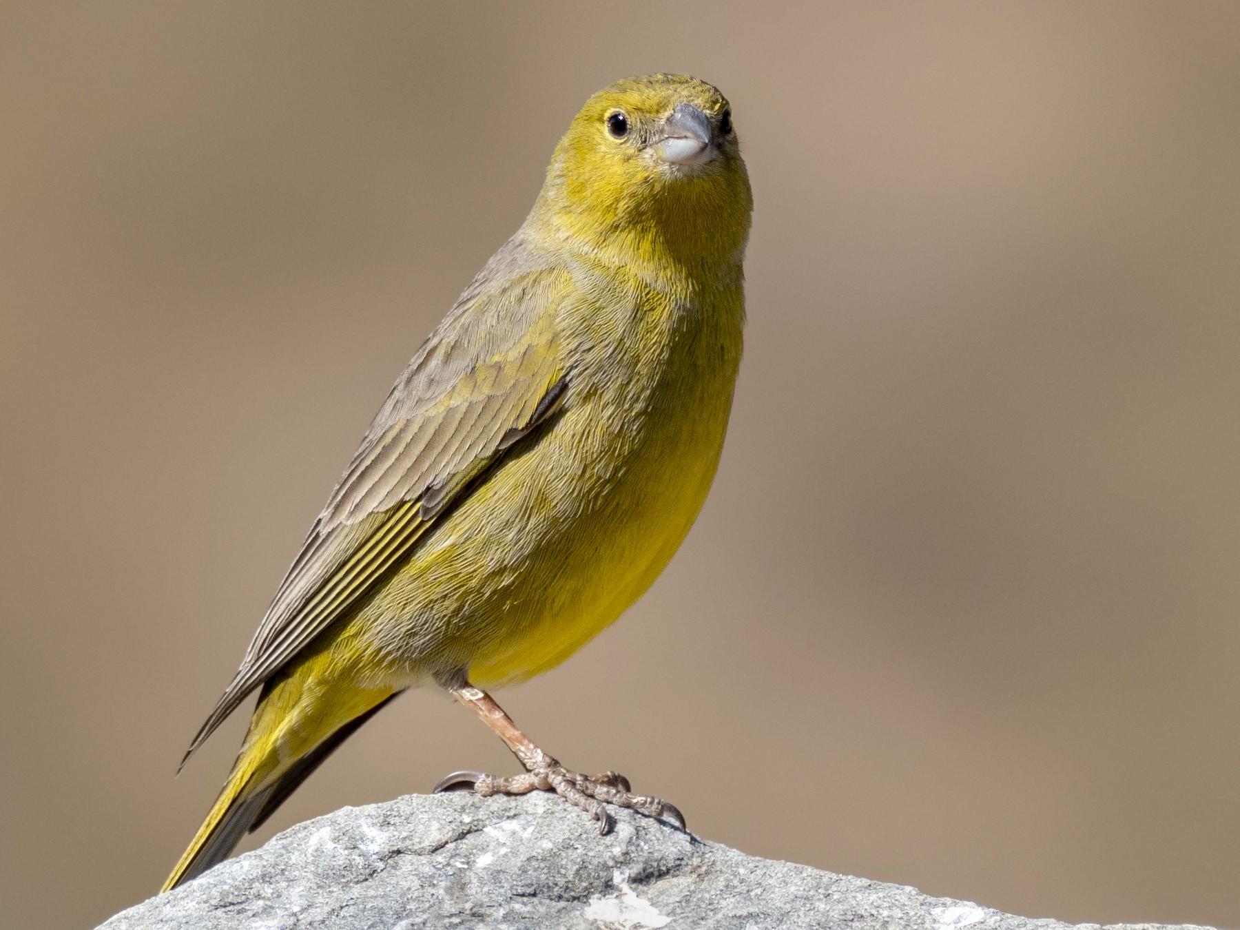 Greenish Yellow-Finch - Andres Vasquez