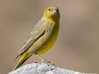 - Greenish Yellow-Finch