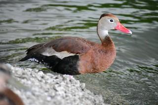 Black-bellied Whistling-Duck, ML250813301