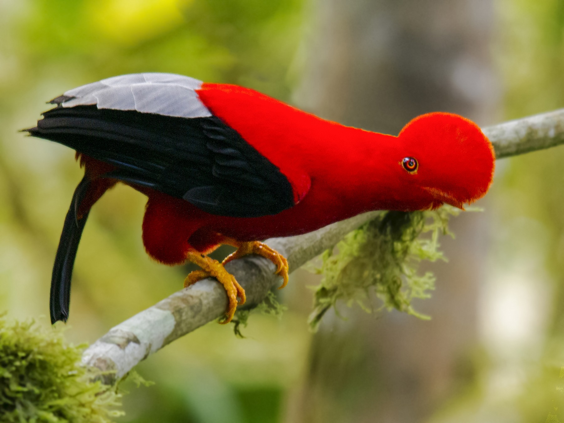 Andean Cock-of-the-rock - Andres Vasquez Noboa - Tropical Birding Tours