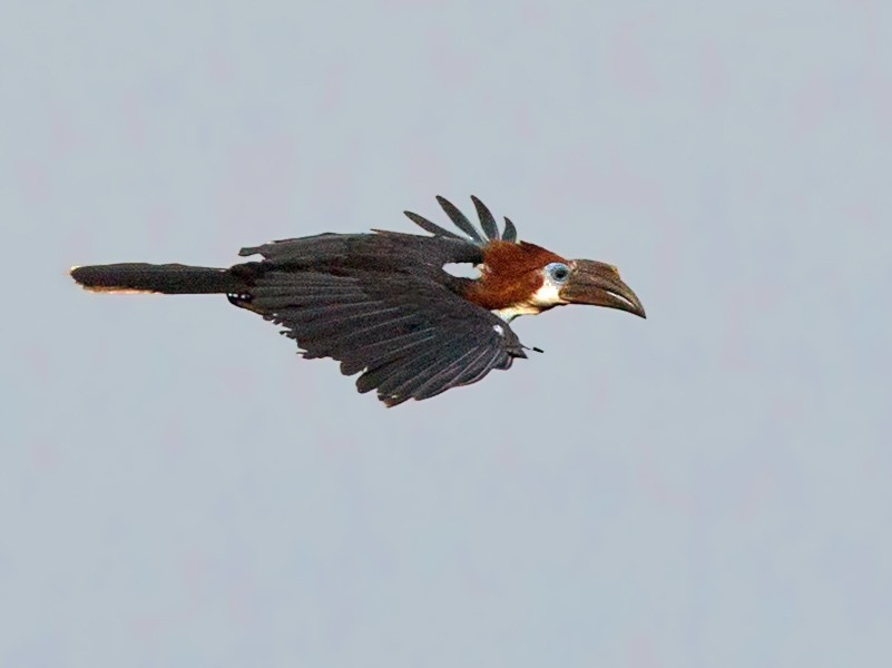 Black-casqued Hornbill - Lars Petersson