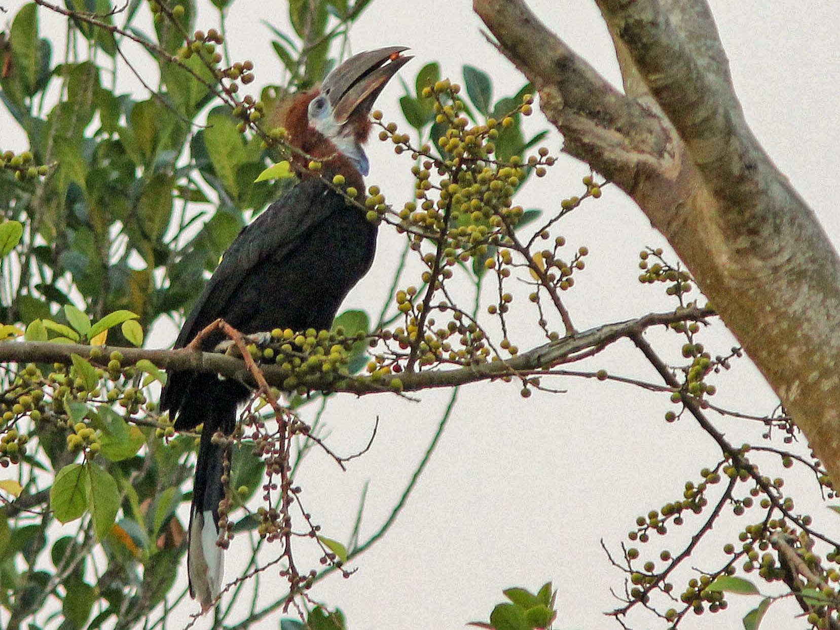 Black-casqued Hornbill - David Beadle
