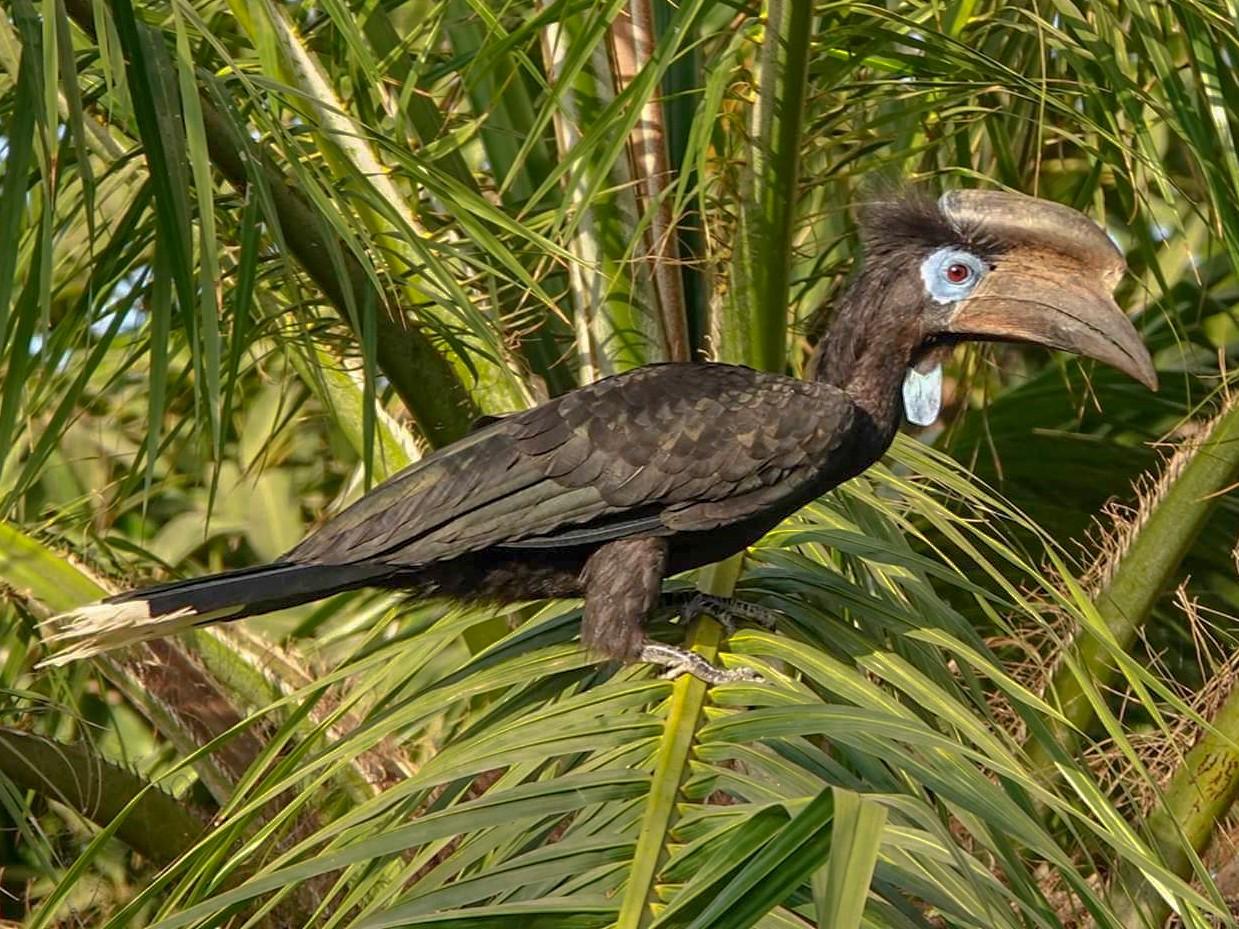 Black-casqued Hornbill - Geoff Dobbs
