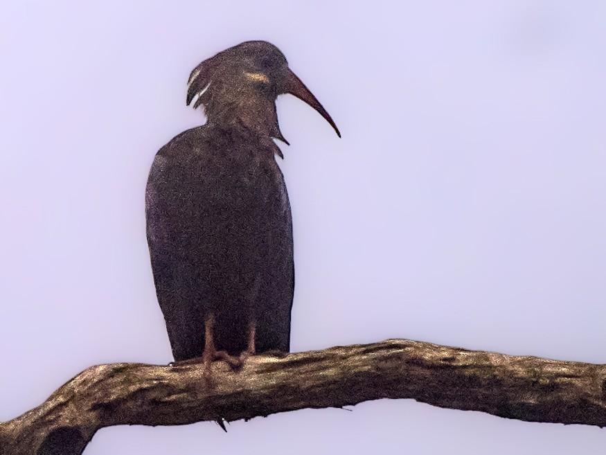 Olive Ibis - Simon Carter
