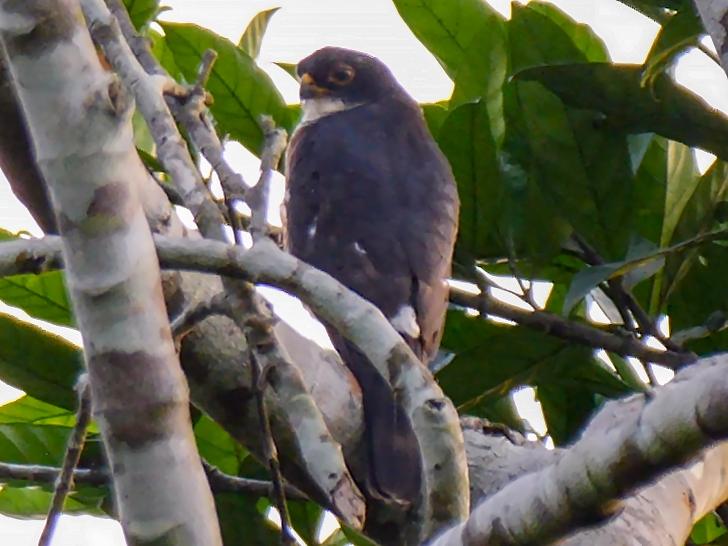 Red-thighed Sparrowhawk - Josep del Hoyo