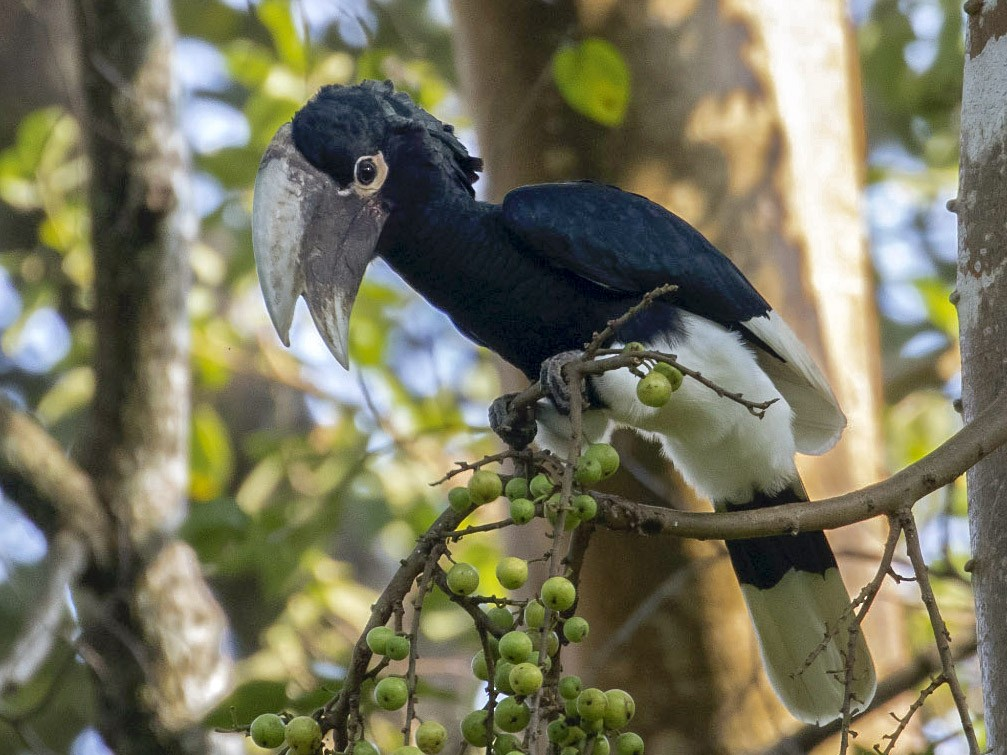 White-thighed Hornbill - Michael Todd