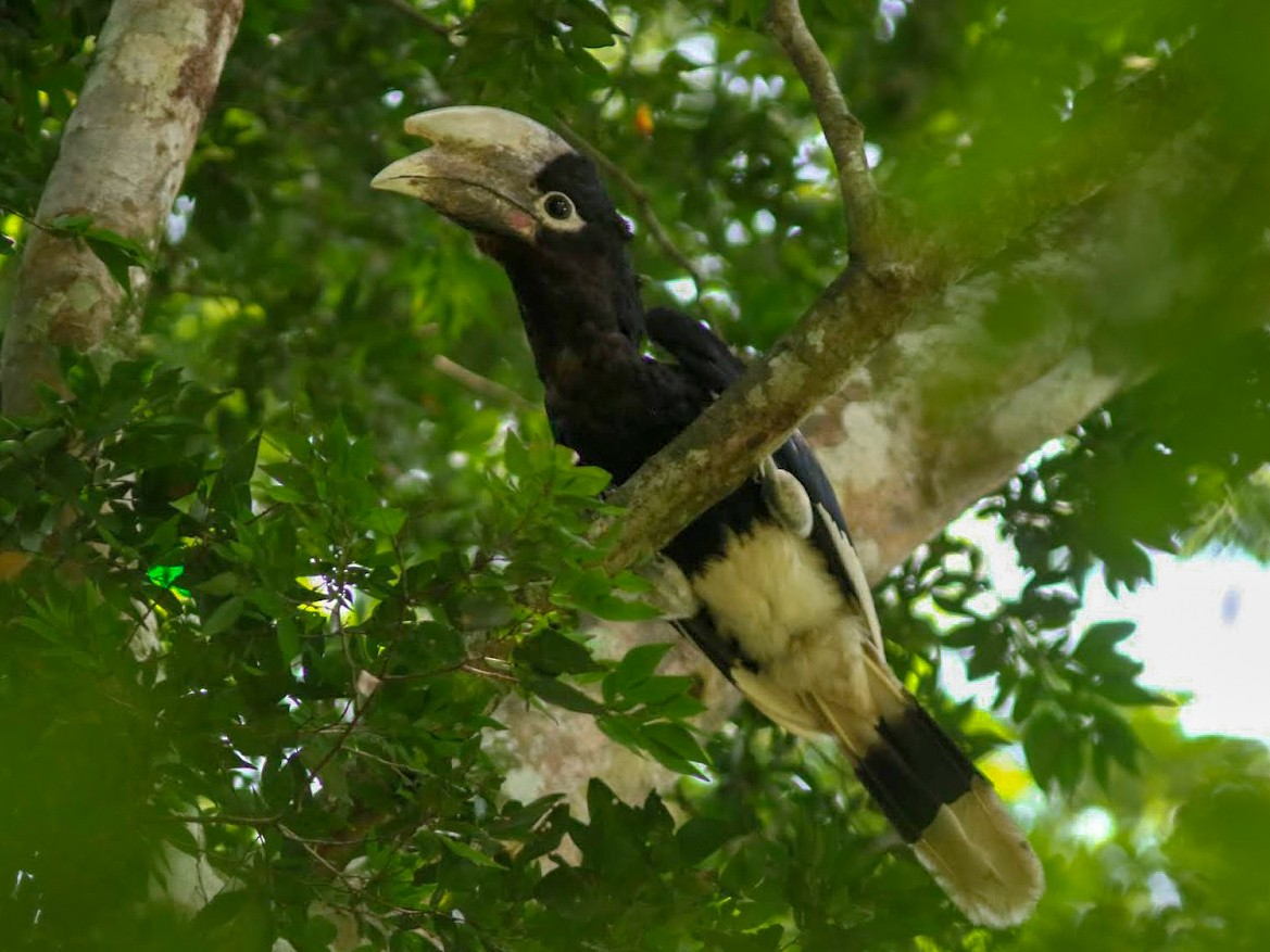 White-thighed Hornbill - Peter Alfrey