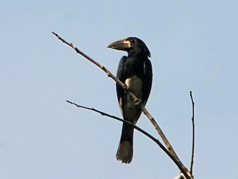 Piping Hornbill - Alan Van Norman