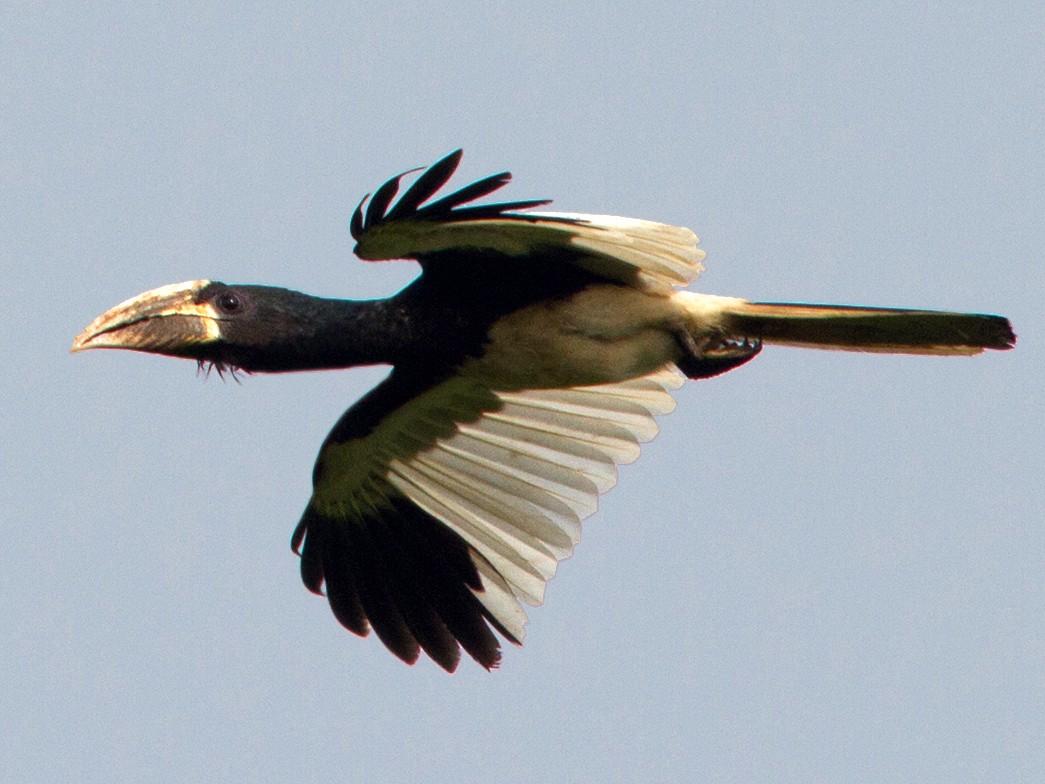 Piping Hornbill - Lars Petersson