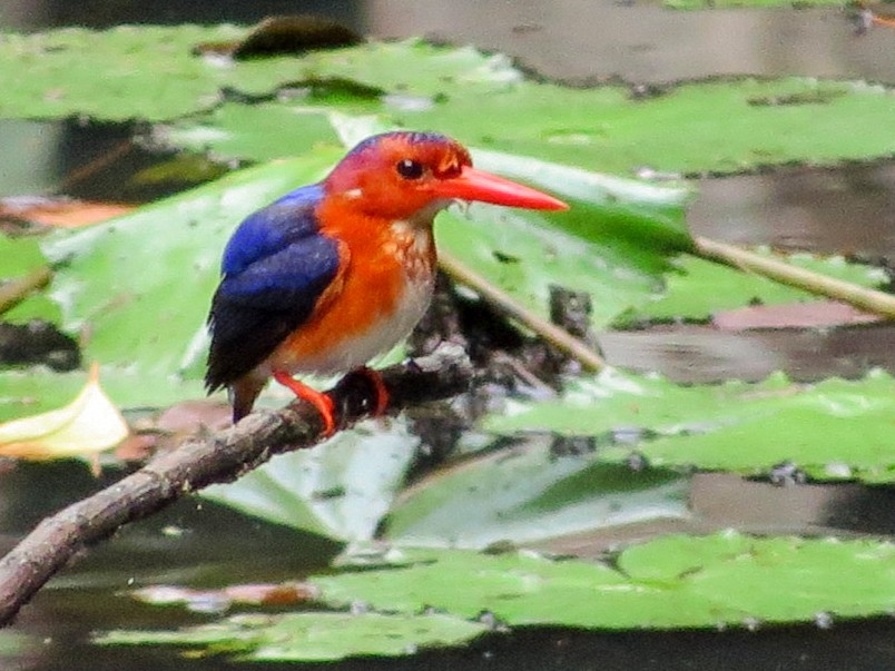 White-bellied Kingfisher - Phil Gregory   Sicklebill Safaris   www.birder.travel