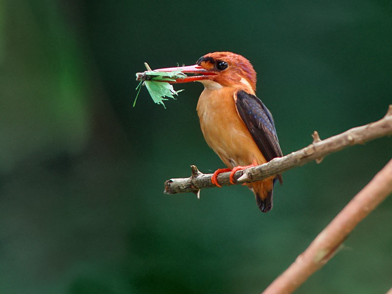 African Dwarf Kingfisher - Nik Borrow