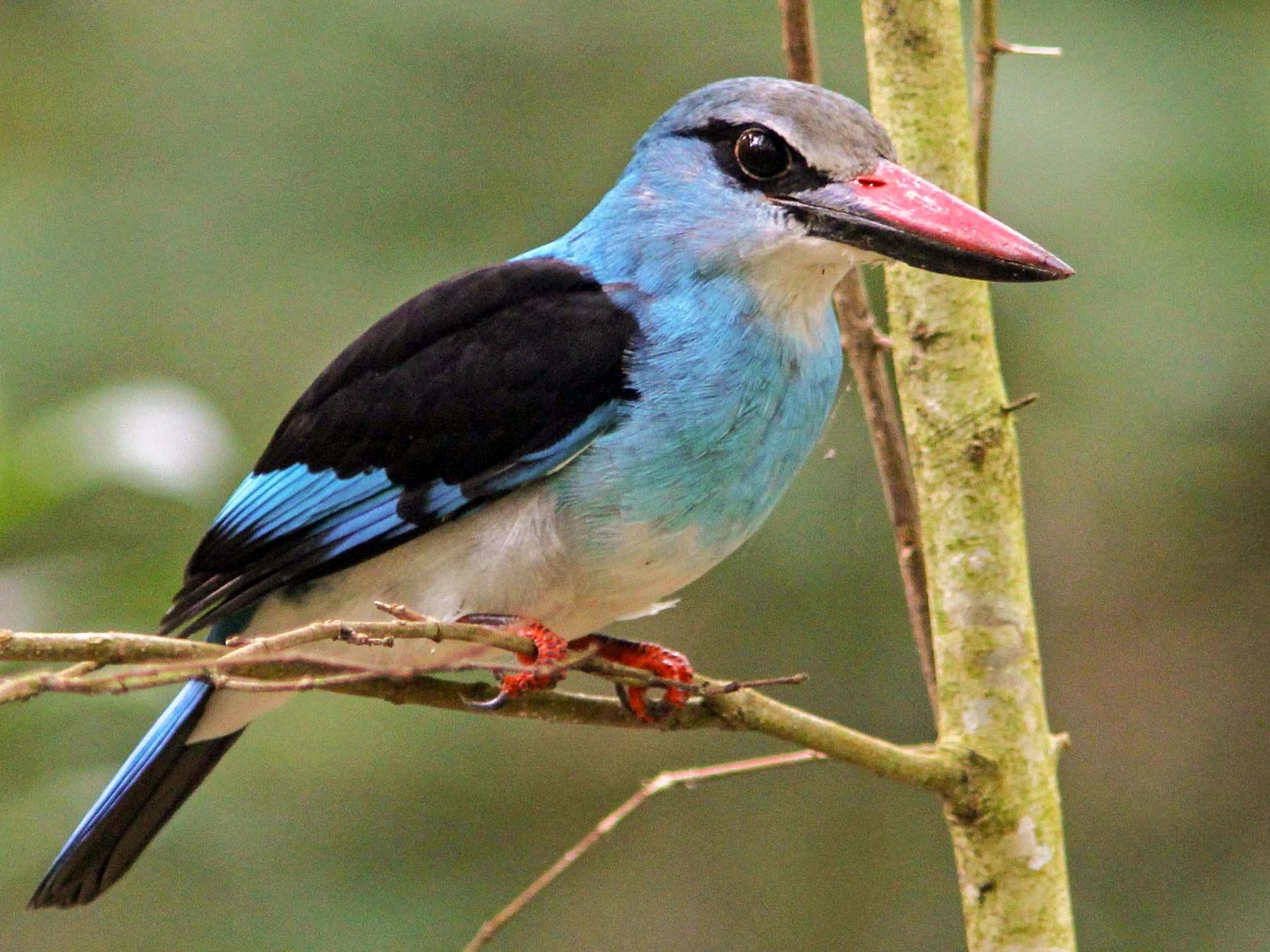 Blue-breasted Kingfisher - David Beadle