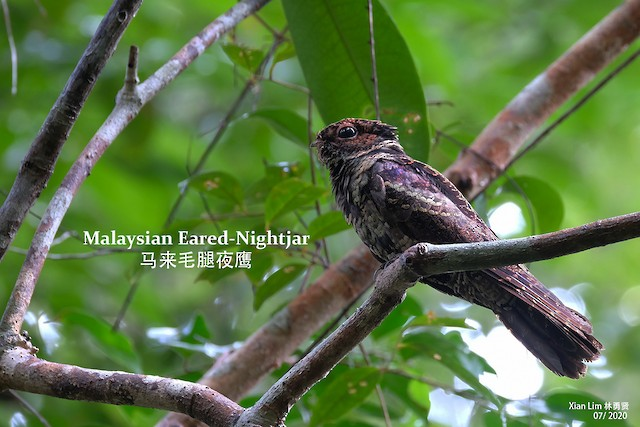 Malaysian Eared-Nightjar
