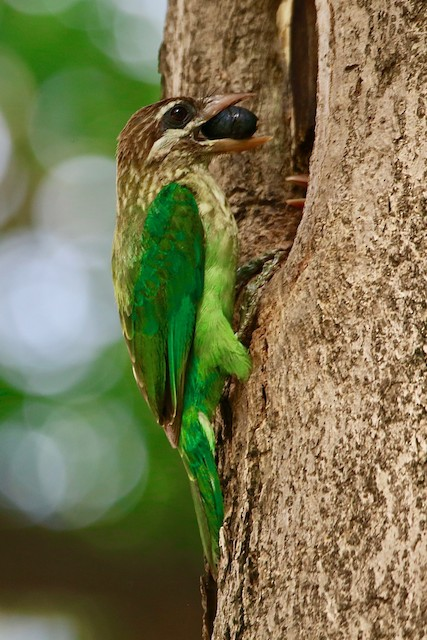 Parent bringing food to nest.