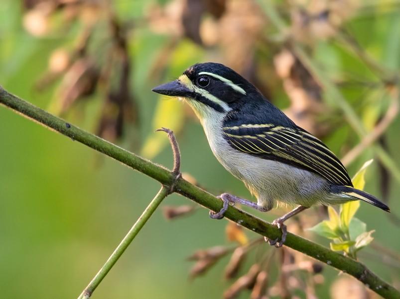 Yellow-throated Tinkerbird - Dubi Shapiro