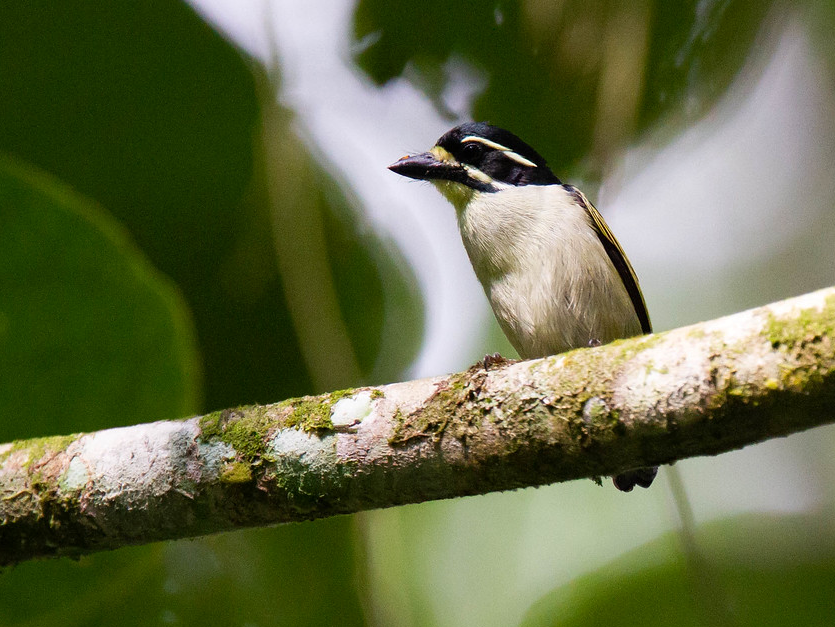 Yellow-throated Tinkerbird - Robert Tizard