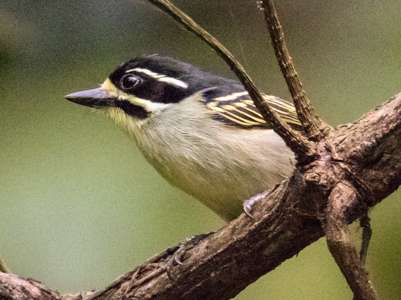 Yellow-throated Tinkerbird - Peter  Steward