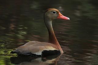 Black-bellied Whistling-Duck, ML251110821
