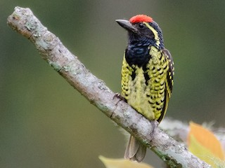 - Yellow-spotted Barbet
